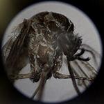 Tiny might brings armies to their knees, Malaria season keeps medical authorities on the alert 110520-M-HA146-018.jpg