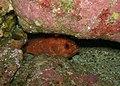 Toadstool Grouper - Trachypoma macracanthus - Poor Knights Islands.jpg