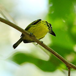 Todirostrum chrysocrotaphum - Yellow-browed Tody-Flycatcher.JPG