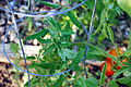 Tomato Plant 12 2012-07-28.jpg