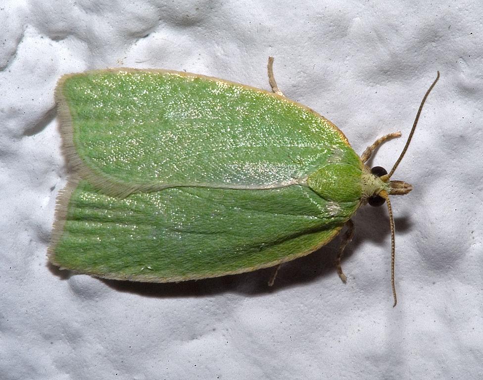 Obaľovač zelený (lat. Tortrix viridana) - škodí podobne ako obaľovač dubový na duboch