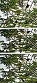 Toucans Playing (16407241547).jpg