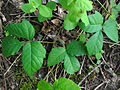 Toxicodendron radicans 02146.jpg