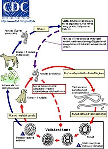 Diphyllobothriasis parazitológia