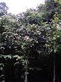 Trâm Bullock 3 - Syzygium bullockii.JPG