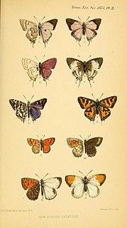 <i>Iolaus</i> (butterfly) Butterfly genus in family Lycaenidae