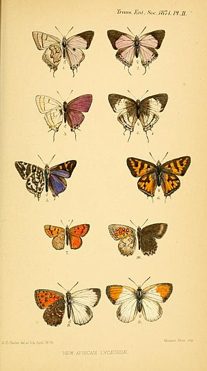 Roland Trimen - Plate accompanying On some new species of South African Lycaenidae Trans. ent. Soc. Lond. 1874