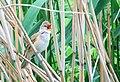 Trastsångare Great Reed Warbler (14524574394).jpg