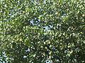 Tree, river portia tree.JPG