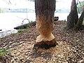 Tree damaged by beavers in Masurian Lakeland, Poland.jpg