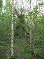 Trees at Springhead sidings site.jpg