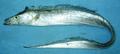 Trichiurus lepturus Pakistan 2.png