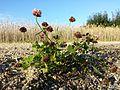 Trifolium hybridum subsp. hybridum sl10.jpg