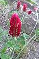Trifolium incarnatum, 2021-05-20, Beechview, 02.jpg