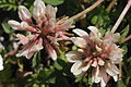 Trifolium pallescens (Moränen-Klee) IMG 28564.JPG