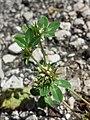 Trifolium scabrum sl9.jpg