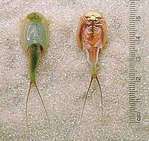 Dorsal and ventral sides of the large branchiopod Triops longicaudatus.