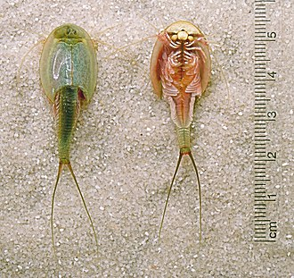 Branchiopoda - Triops (Notostraca: Triopsidae) left: dorsal view; right: ventral view