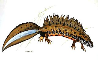 Danube crested newt species of amphibian