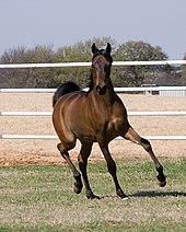 Um cavalo negro movendo-se em direção à câmera com a cabeça erguida e as pernas avançando.