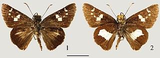 <i>Tsukiyamaia</i> species of insect