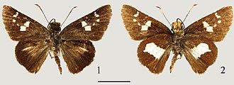 Tsukiyamaia - 1: upperside; 2: underside