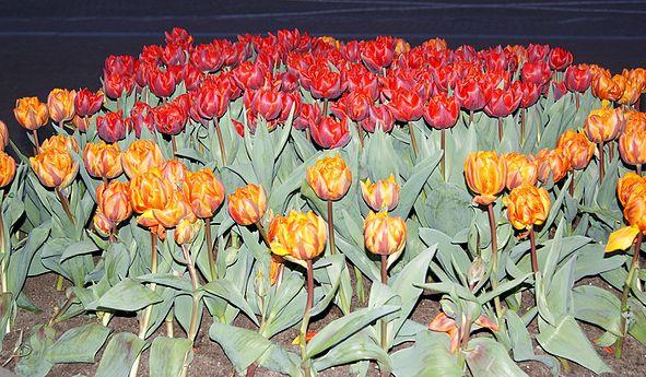 Tulips, ArmAg.jpg