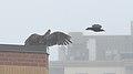 Turkey Vulture (Cathartes aura) and American Crow (Corvus brachyrhynchos).jpg