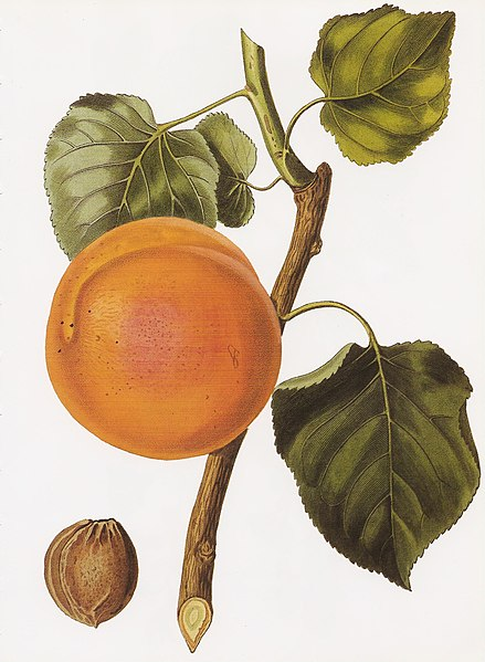 Archivo:Turkey apricot RHS.jpeg