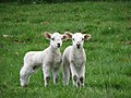 Twin lambs - geograph.org.uk - 455848.jpg