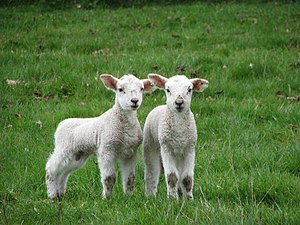 English: Twin lambs