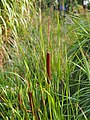 Typha angustifolia Pałka wąskolistna 2015-08-30 01.jpg