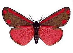 Écaille du séneçon, avec les ailes ouvertes, montrant la deuxième paire d'ailes, de couleur rouge sang.