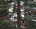 US National Christmas Tree - visible guy wire - 2012.jpg