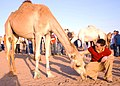 US Navy 050106-N-6495K-074 A Sailor pets a camel during a sunset safari tour in Jebel Ali, United Arab Emigrates (U.A.E).jpg