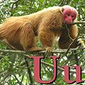 U is for Uakari.jpg