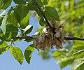 Ulmus pumila 20070415.jpg