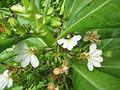 Unidentified Plants from Kerala 2016-01-26.JPG