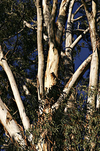 Unknown eucalypt.jpg