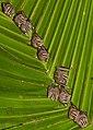 Uroderma bilobatum, Gamboa, Panama 1.jpg