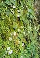 Utricularia striatula 18.JPG