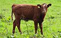 Väneko calf.jpg