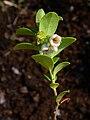 Vaccinium vitis-idaea 002.JPG