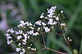 Valeriana officinalis (8393932029).jpg