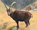 Valnontey rock goat (8062103543).jpg