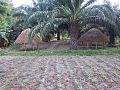 Vathaba - Innovative way of growing pineapple shoots from leaves.jpg