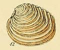 Venus casina (Sowerby).jpg
