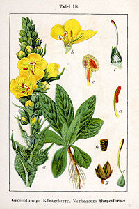 Verbascum densiflorum Sturm18