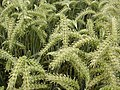 Verdant barley - winter hooded barley.jpg