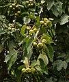 Vernicia montana 3.jpg